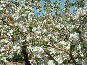 Spring apple blossoms 003